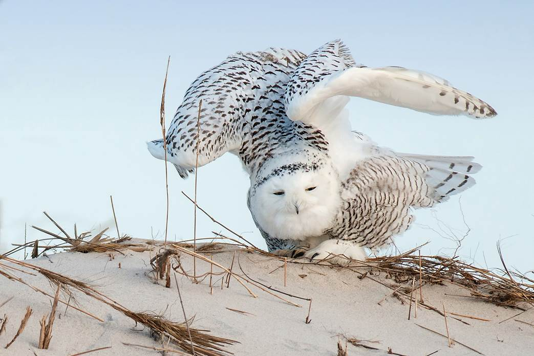 Snowy Owl: Ray Yeager